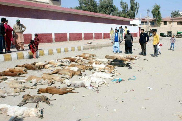 حیدر آباد: بلدیہ کی جانب سے کتا مار مہم کے دوران مرے ہوئے کتے پڑے ہوئے ہیں