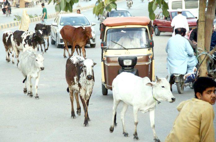 شاہراہ قائدین پر گائے کاریوڑ''چہل قدمی ''میں مصروف ہے