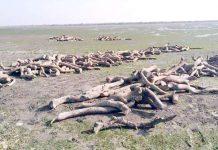 جنگلات سے کاٹی گئی تمر کی لکڑیاں ابراہیم حیدری کے ساحل پر بکھری ہوئی ہیں
