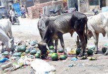 حیدر آباد : مکی شاہ روڈ پر پڑے کچرے کے ڈھیر سے مویشی اپنی غذا حاصل کررہے ہیں