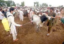 پشاور،قربانی کے جانوروں کو بیماریوں سے بچانے کیلیے محکمہ ہیلتھ کا رضا کار منڈی میں اسپرے کررہا ہے