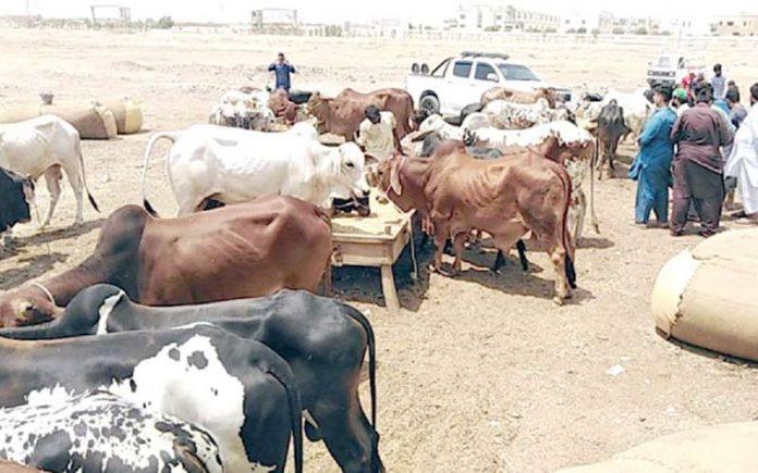 اجازت ملنے پرلاڑکانہ کے بیوپاری نے قربانی کے جانور سپر ہائی وے مویشی منڈی میں اُتار دیے