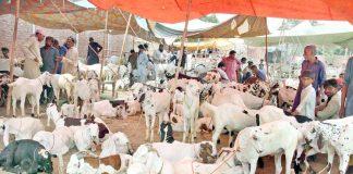 ملتان : عیدالاضحی کے موقع پر مویشی منڈی میں لوگ جانور کی خریداری کررہے ہیں