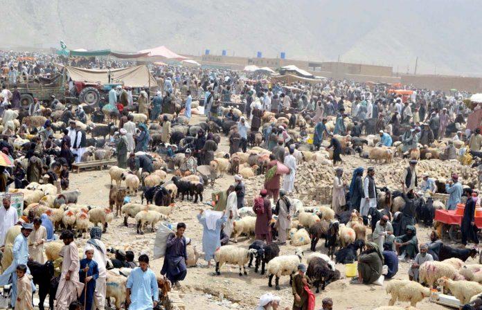 کوئٹہ : عیدالاضحی کے لیے لوگوں کی بڑی تعداد مویشی منڈی سے جانوروں کی خریداری کررہی ہے