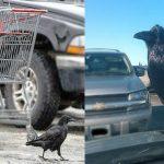 Alaska Crows _